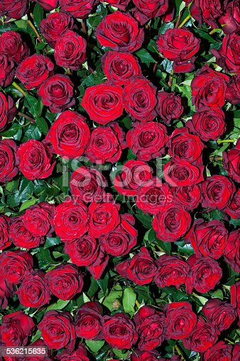 Full and fresh scarlet rose flowers top view