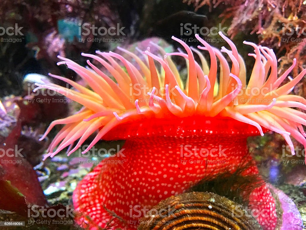 Colorful Sea Anemones Stock Photo & More Pictures of Anemonefish ...