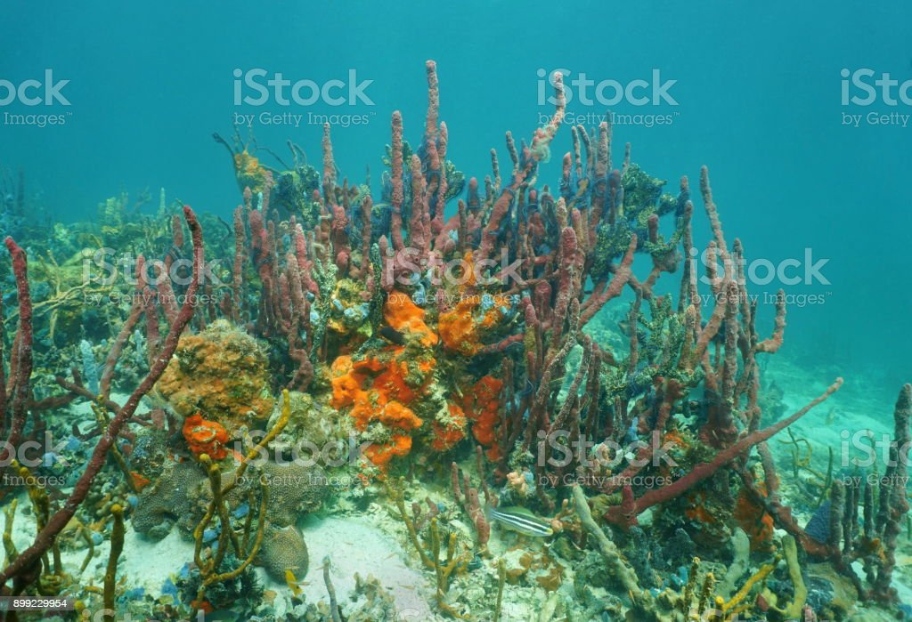 Colorful sea sponge animals underwater, mostly red tree sponge in a...