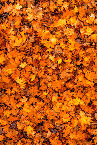 Colorful seasonal autumn background pattern, carpet of fallen forest leaves..