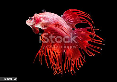 Colorful Siamese fighting fish on a black background.
