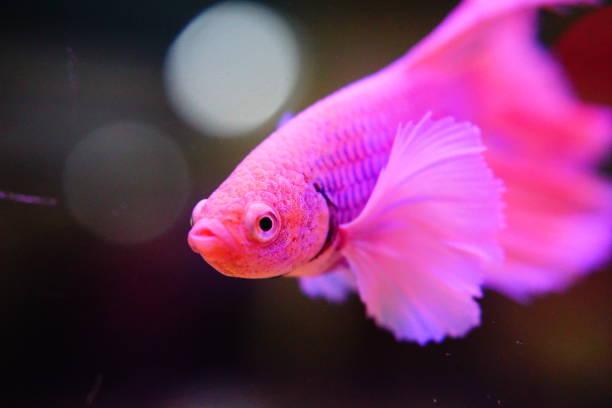 colorful siamese fighting fish stock photo