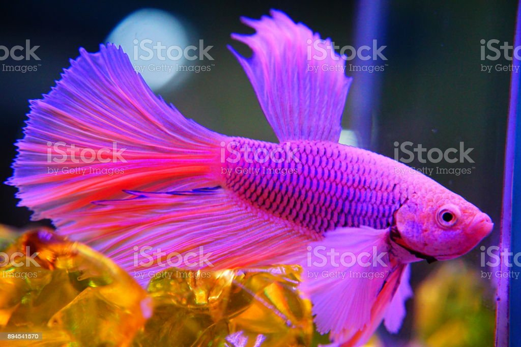 Siamese Fighting Fish Fighting | Colorful Siamese Fighting Fish Stock Photo More Pictures Of