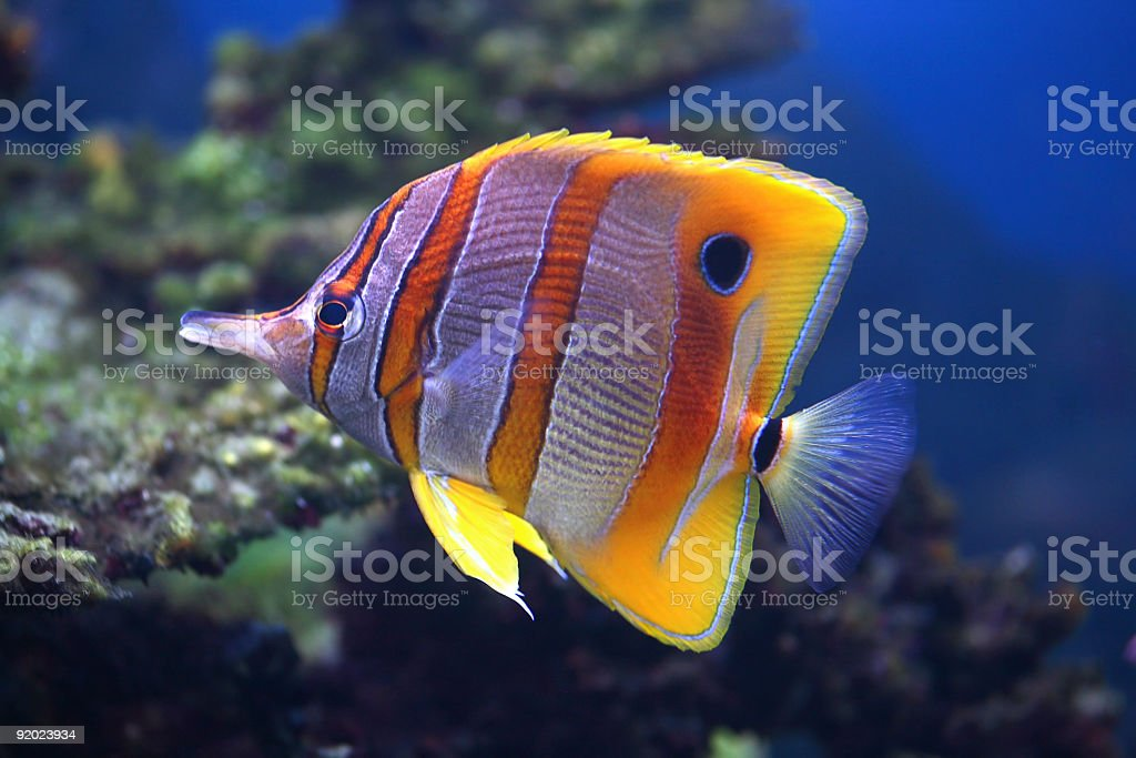 Colorful sixspine butterfly-fish stock photo