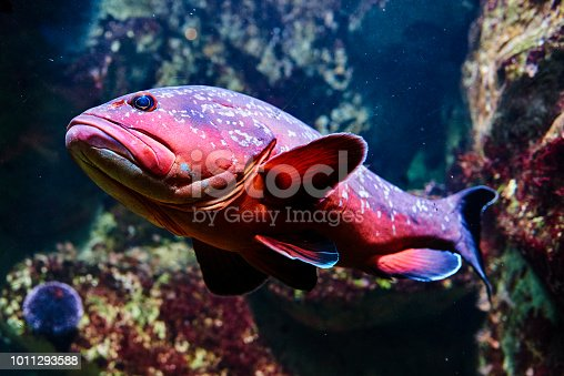 side view of colorful snapper fish inside aquarium swimming near corals.