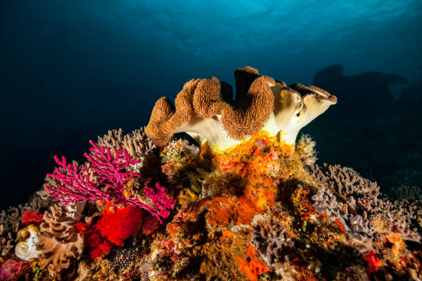 Colorful Soft Coral Biodiversity, Komodo National Park, Indonesia stock photo
