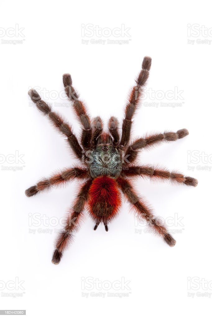 Colorful Spider royalty-free stock photo