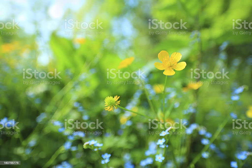 Colorful Sping Meadow - Flowers Looking Up royalty-free stock photo