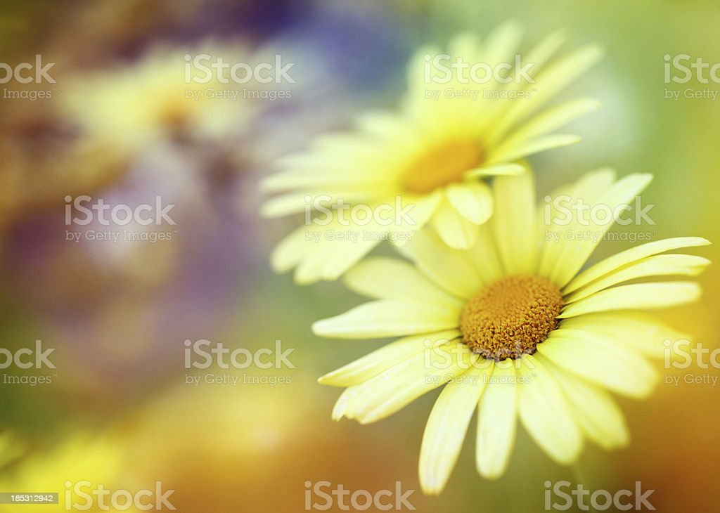 Colorful spring daisies. royalty-free stock photo