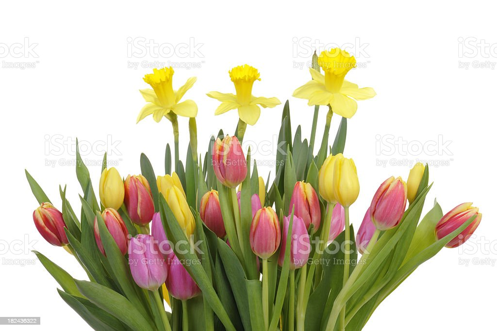Colorful Spring Flowers Tulips and Daffodils royalty-free stock photo