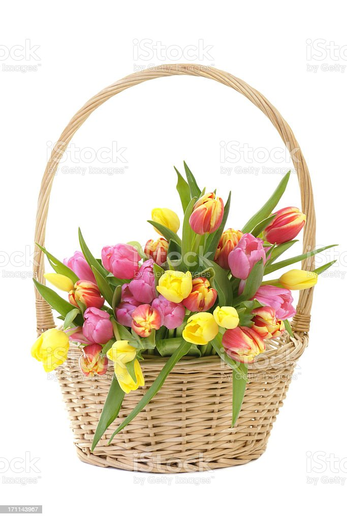Colorful Spring Tulips in a wicker basket Isolated on White stock photo