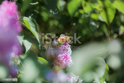Colorful Springtime pink purple Lilac Bush in Bloom with butterfly