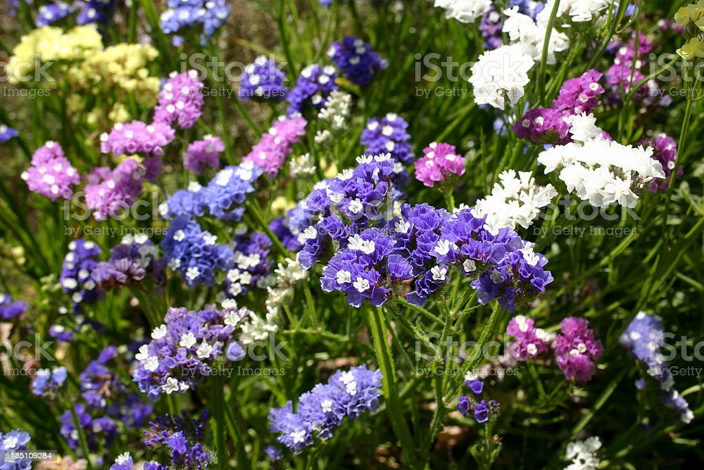Colorful Statice Limonium sinuatum Flowers Growing stock photo