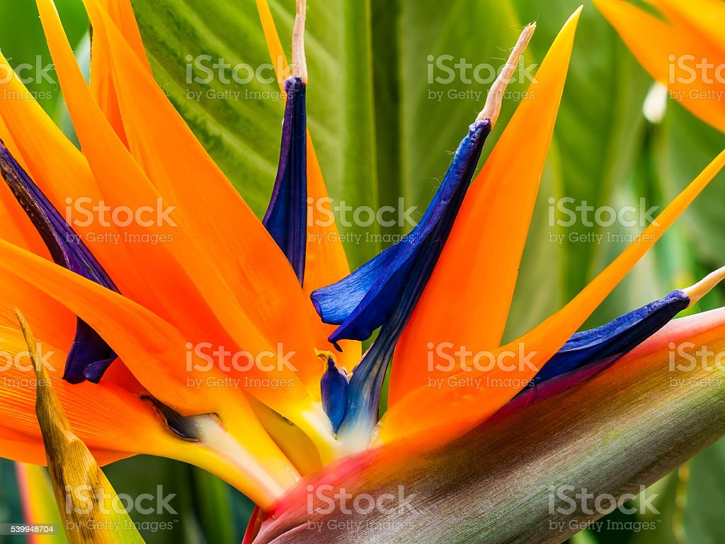 Colorido strelitzia - foto de acervo