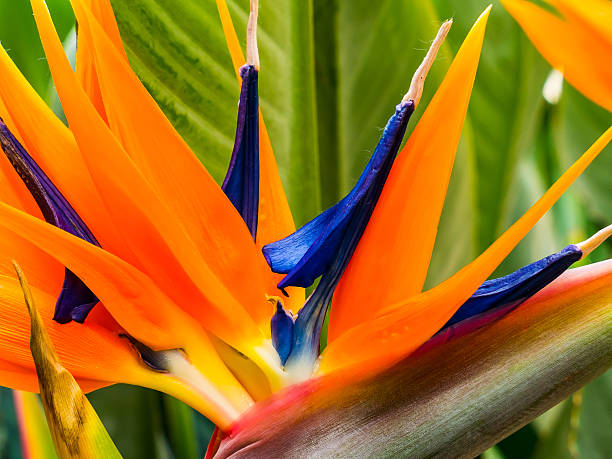 Colorful strelitzia stock photo