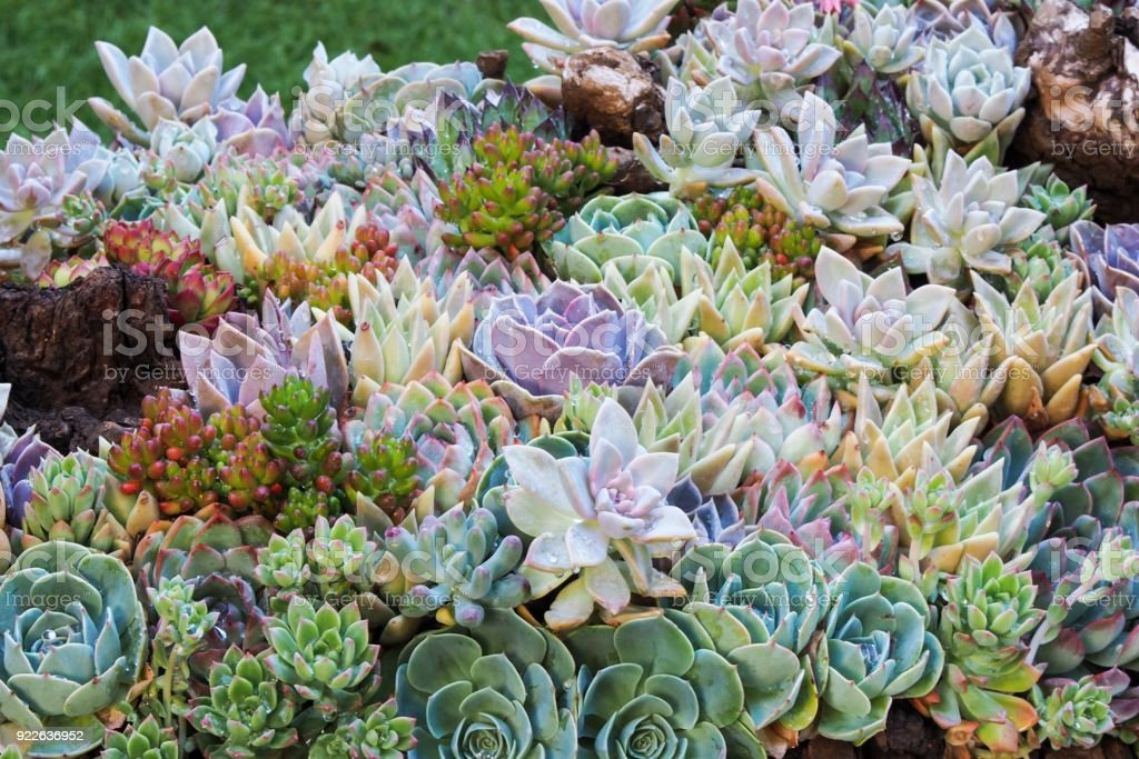 Colorful succulent plants or succulents garden.  Selective focus in the middle area of picture, blurred background. stock photo