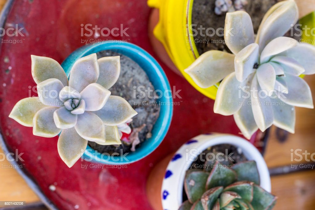 Colorful succulents in flower pots on a red table. stock photo