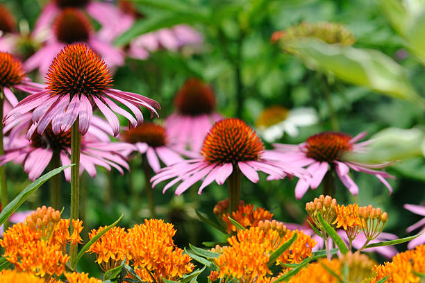Colorful Summer Garden Colorful summer garden perennial stock pictures, royalty-free photos & images