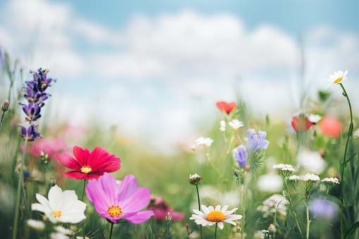 Idyllic summer meadow full of colorful flowers.