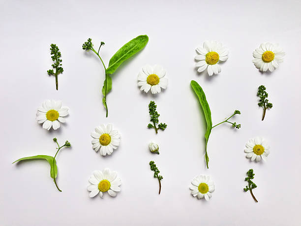 colorful summer pattern with herbs and flowers. flat lay - planta de manzanilla fotografías e imágenes de stock