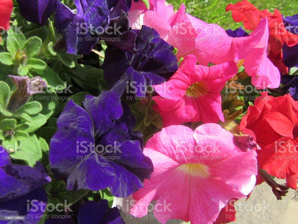 Colorful Summer Petunias stock photo