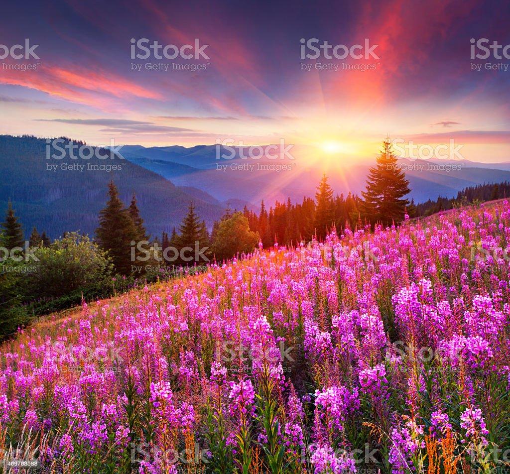 Bunte Sommer Sonnenaufgang in den Bergen mit Rosa Blumen. – Foto