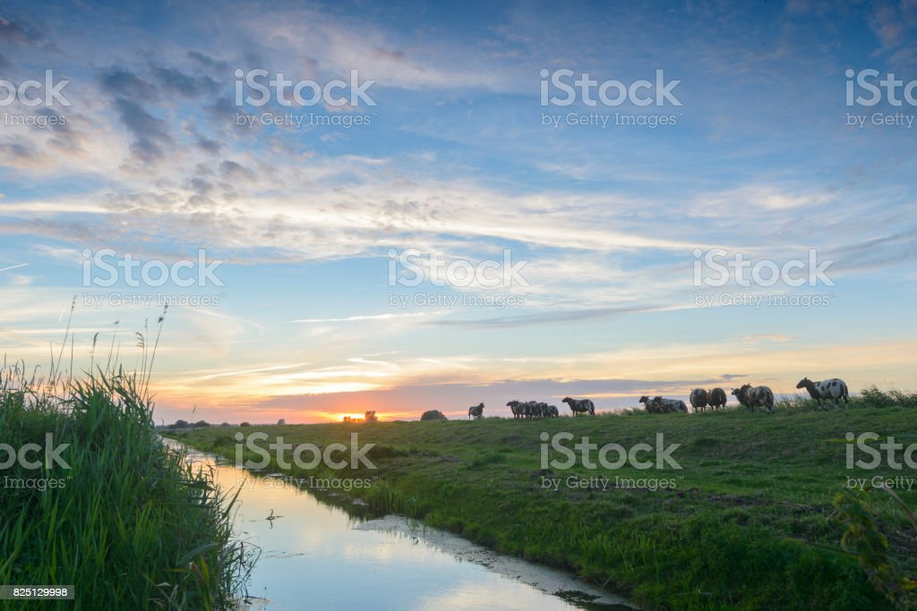 Colorful summer sunset over levee with sheep grazing stock photo