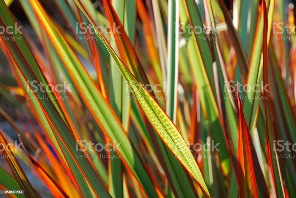 A colorful sunlit Maori queen flax Harakeke stock photo