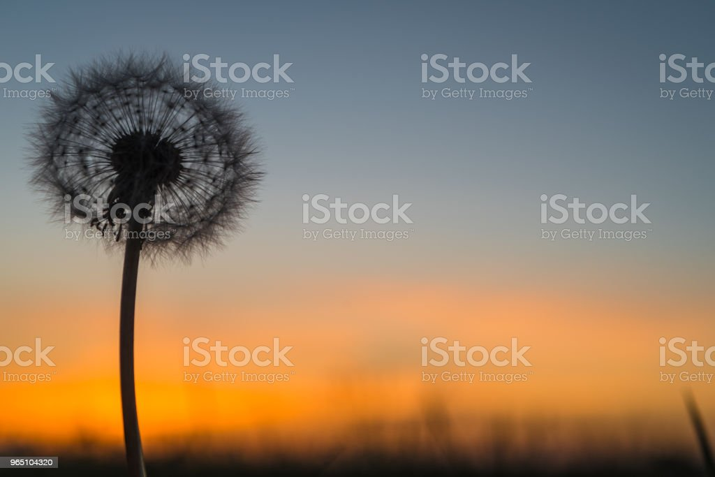 Colorful sunset against blowball silhouette royalty-free stock photo