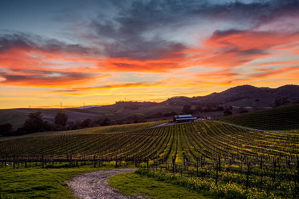 Colorful sunset over a Napa California vineyard Spectrum of colors over Napa Valley vines in winter. Rolling hills of yellow mustard flowers. Path leads to a winery. sonoma stock pictures, royalty-free photos & images