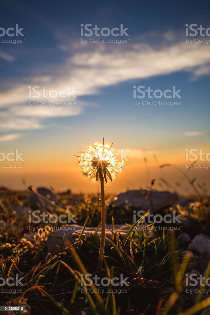 Colorful sunset over mountain landscape against blowball silhouette stock photo