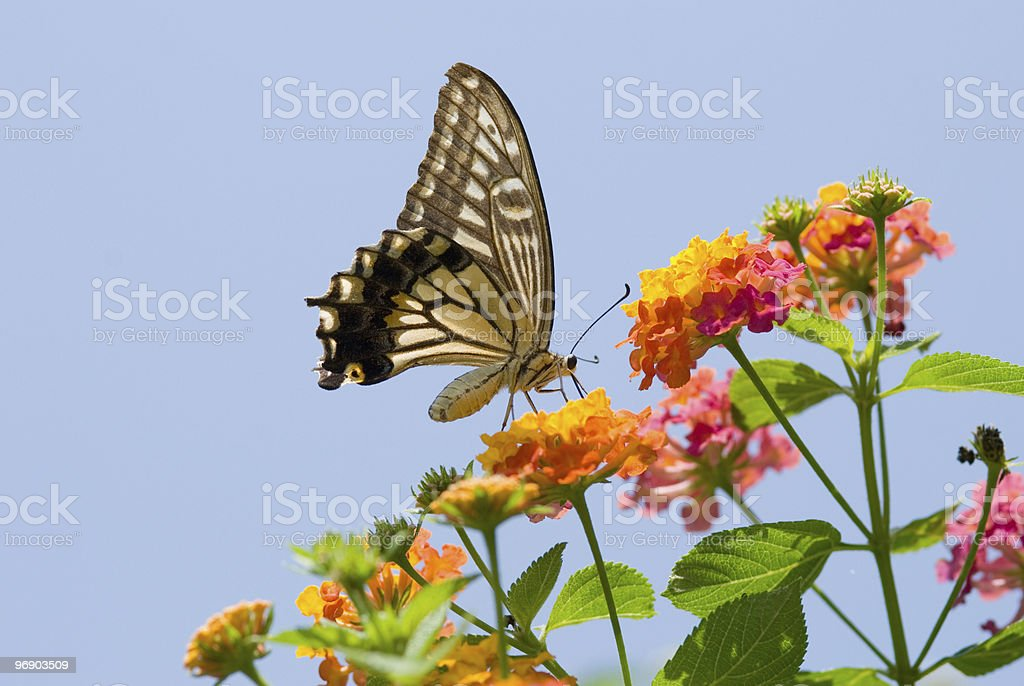 Colorful swallowtail butterfly flying and feeding on flowers royalty-free stock photo