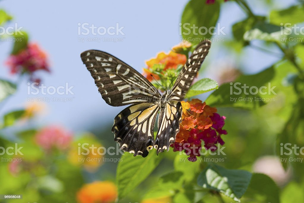 Colorful swallowtail butterfly flying and feeding on flowers stock photo