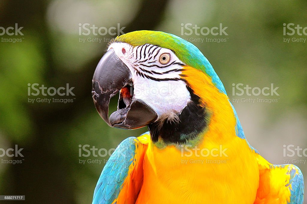 Colorful talking macaw (parrot) with tongue out close-up stock photo