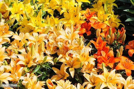 Colorful Tiger Lilies in a Garden in Spring