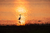 Colorful time, Great Egret walking in the lake in the sunset light. Beautiful glittering water backgrounds. Grass foregrounds. Warm tone. Silhouette. Golden and silver sparkling on the lake. Summer season. Rural Thailand. Animal, Wildlife.