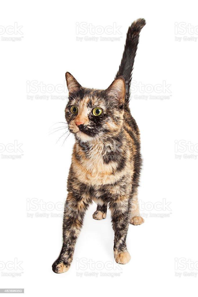 Bunte Tortie Katze Zu Fuß Nach Vorn Stock-Fotografie und mehr Bilder ...