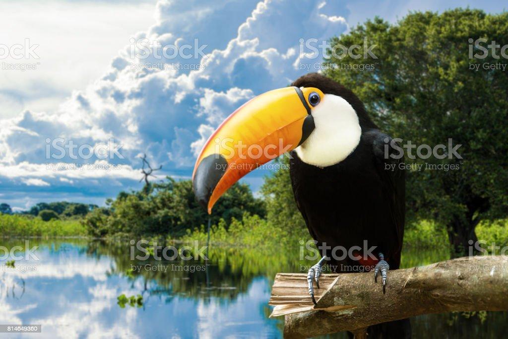 Tucano colorido na natureza - foto de acervo