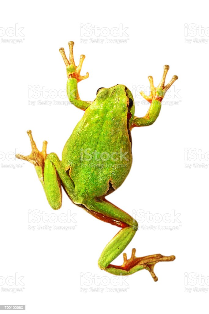 colorful tree frog isolated over white background stock photo