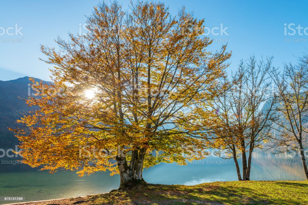 Colorful Tree In Fall In Sunlight Near Lake stock photo