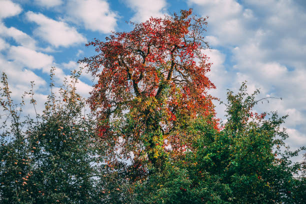 Colorful tree in the autumn (Winter is Coming) stock photo