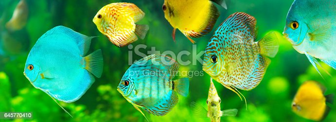 istock colorful tropical discus fish 645770410
