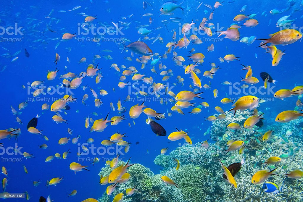 Colorful tropical school of fish on Maldives stock photo