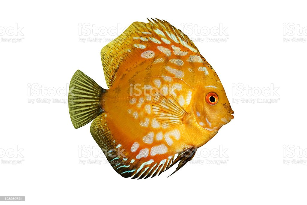 Colorful tropical Symphysodon discus fish isolated on white royalty-free stock photo