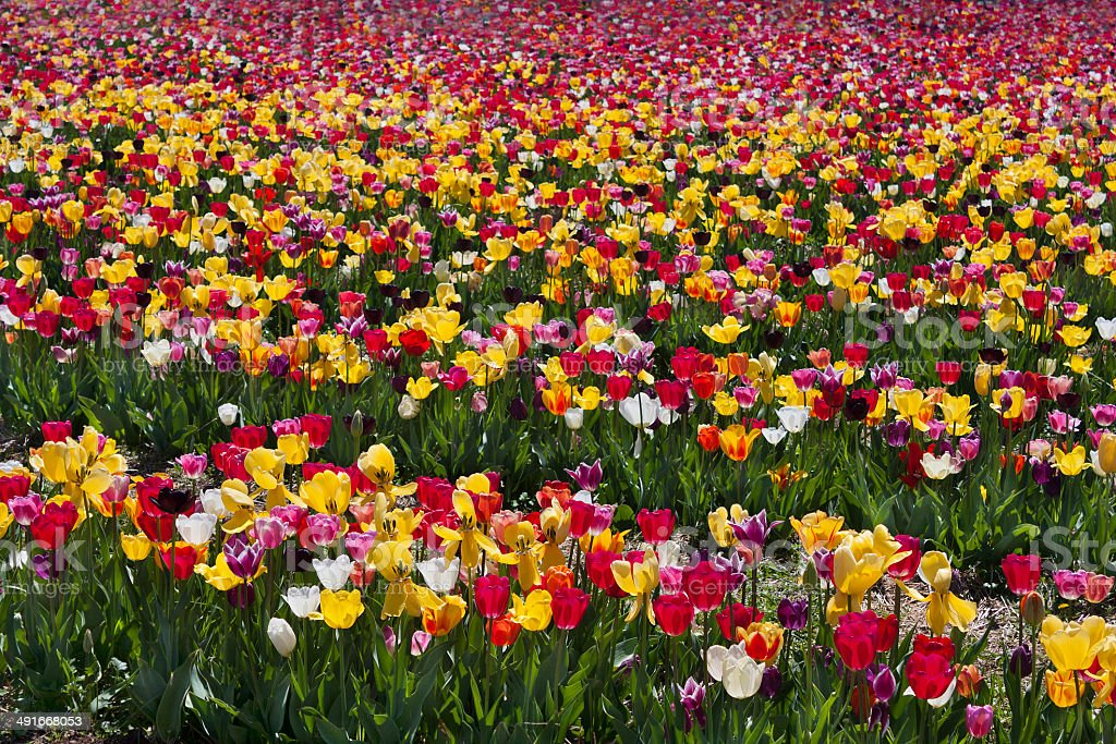 Colorful tulip field in Haymarket, Virginia stock photo