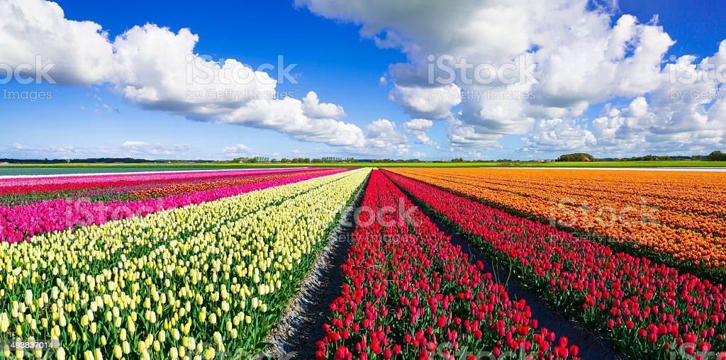Colorful Tulip Field stock photo