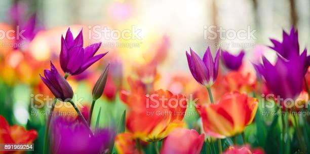 Colorful tulip field picture id891969254?b=1&k=6&m=891969254&s=612x612&h=0ebiezbqxe96eeyhvazyxk2hpjxc wb0mtbpa3m9bny=