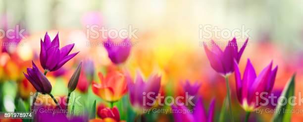 Colorful tulip field picture id891978974?b=1&k=6&m=891978974&s=612x612&h=fqm3xhawdnfwywygbbtjorcug8woyljs31d qdshmqq=