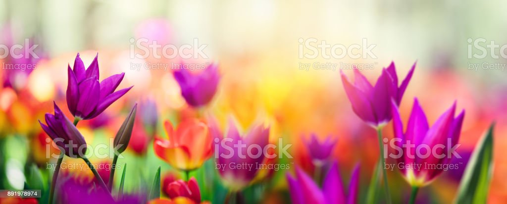 Colorful Tulip Field stock photo