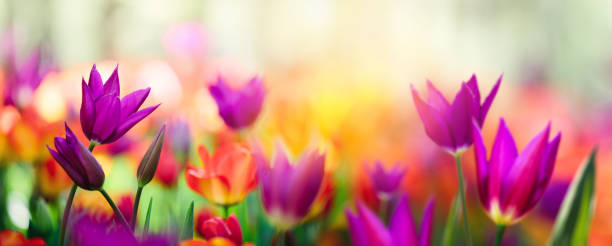 colorful tulip field - flowers stock photos and pictures